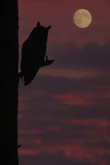owl plus moon